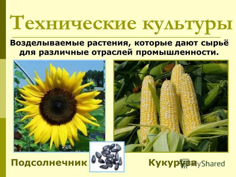 Технические культуры Подсолнечник Возделываемые растения, которые дают сырьё для различные отраслей промышленности. Кукуруза