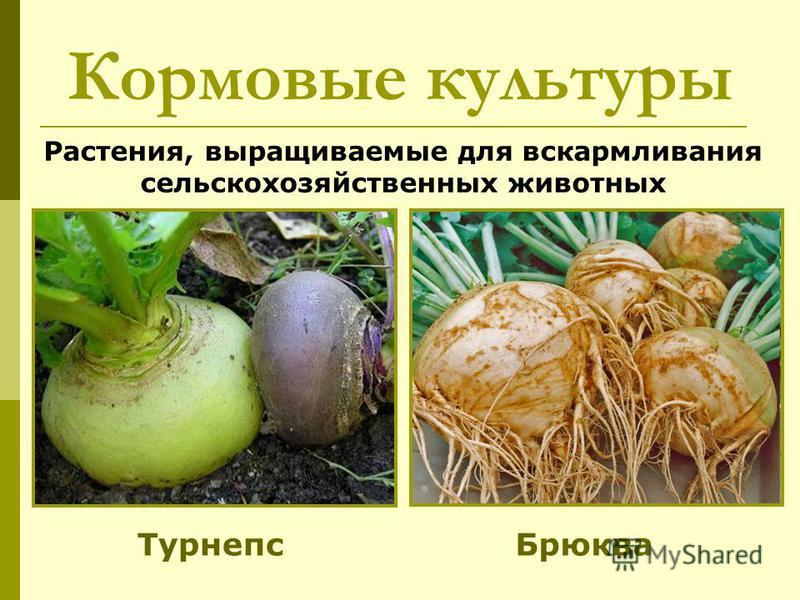 Растения, выращиваемые для вскармливания сельскохозяйственных животных Кормовые культуры Турнепс Брюква