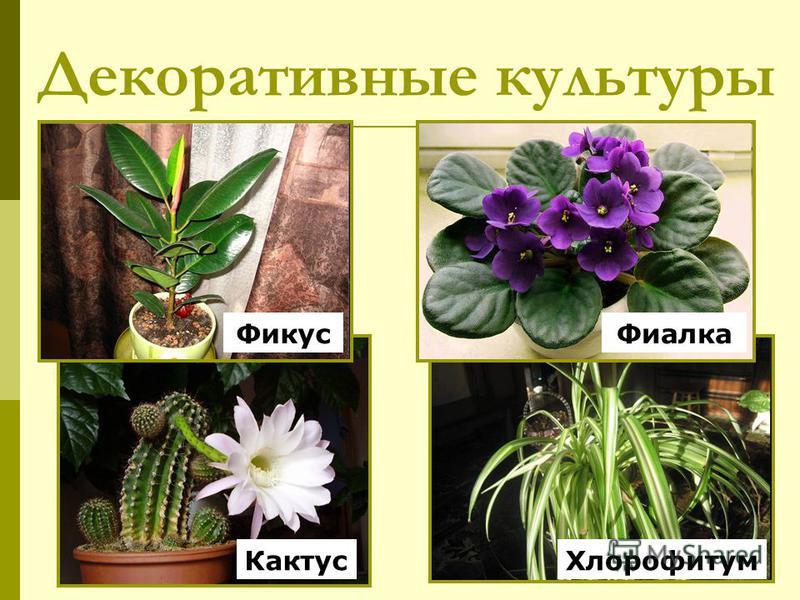 Декоративные культуры Кактус Фикус Хлорофитум Фиалка
