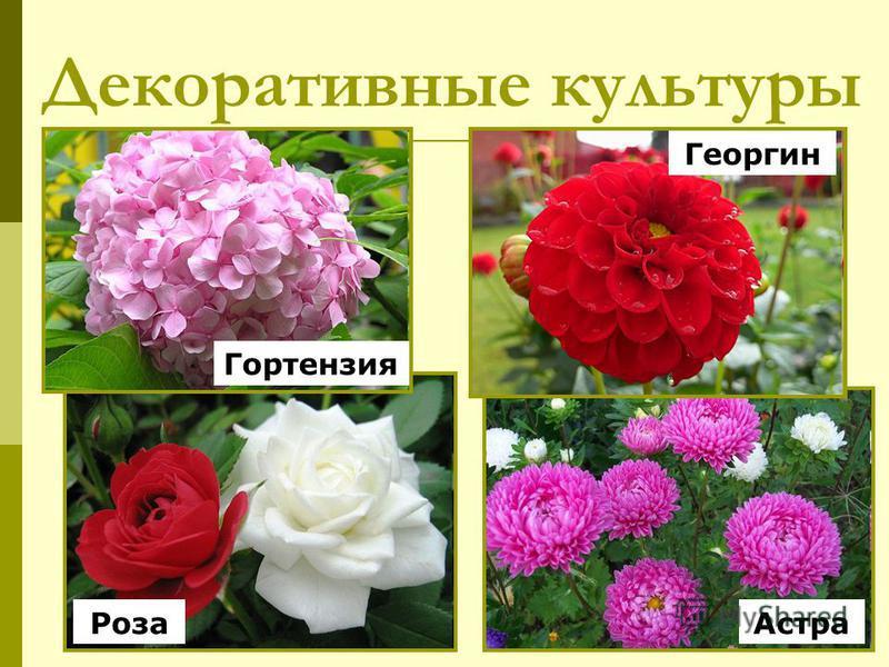 Декоративные культуры Роза Гортензия Астра Георгин