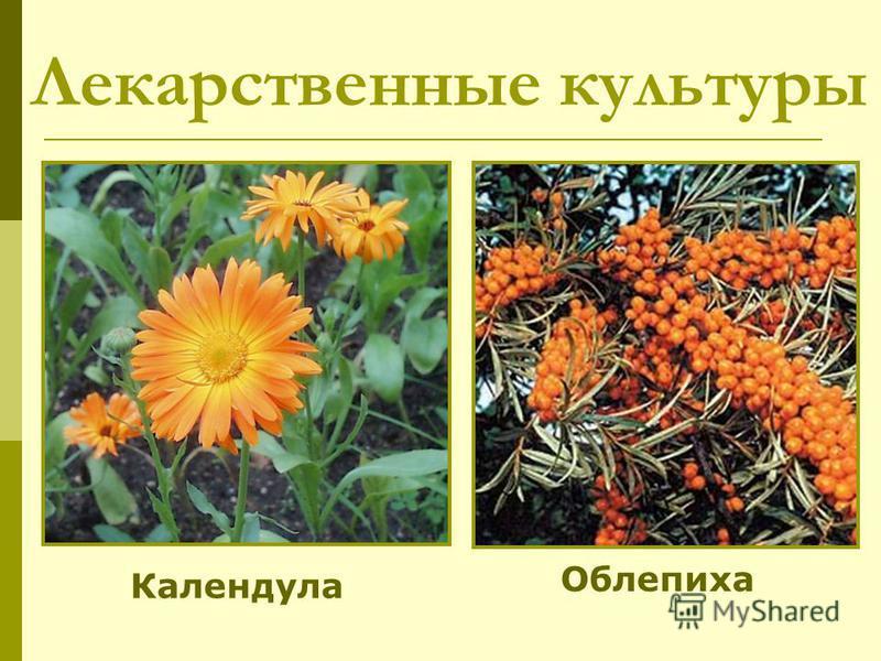 Лекарственные культуры Календула Облепиха
