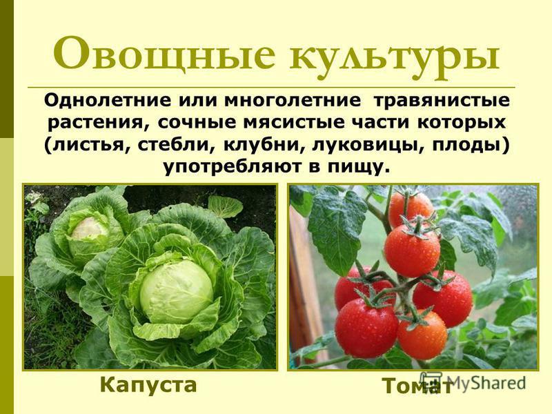 Овощные культуры Однолетние или многолетние травянистые растения, сочные мясистые части которых (листья, стебли, клубни, луковицы, плоды) употребляют в пищу. Капуста Томат