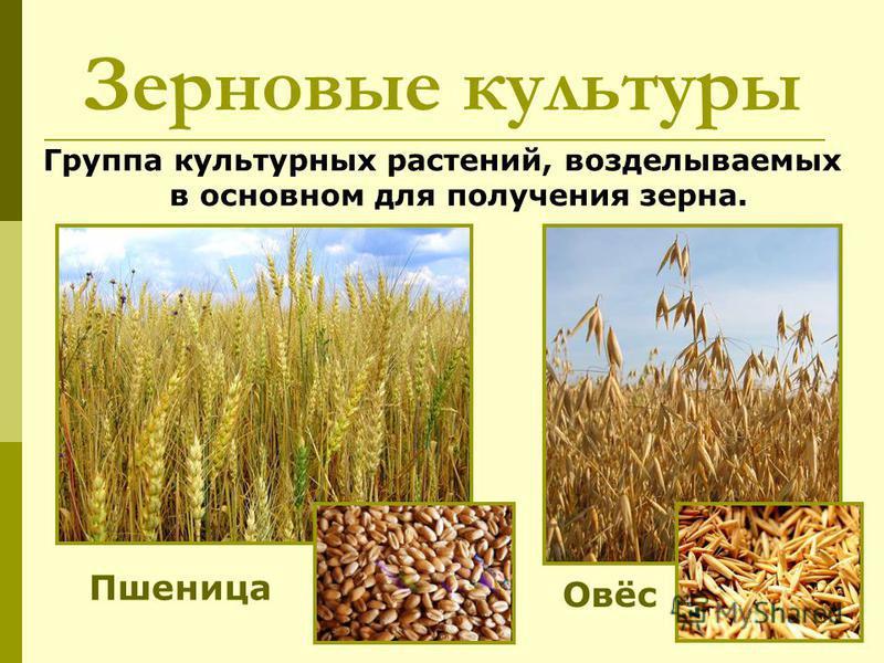 Зерновые культуры Группа культурных растений, возделываемых в основном для получения зерна. Пшеница Овёс