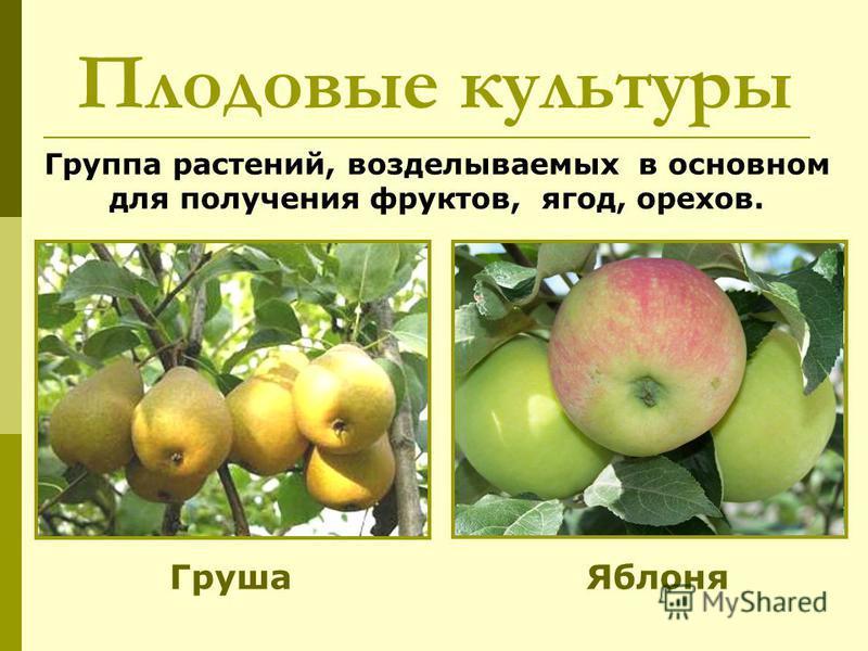 Группа растений, возделываемых в основном для получения фруктов, ягод, орехов. Плодовые культуры Груша Яблоня