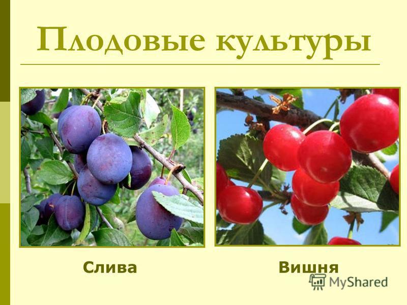 Плодовые культуры Слива Вишня