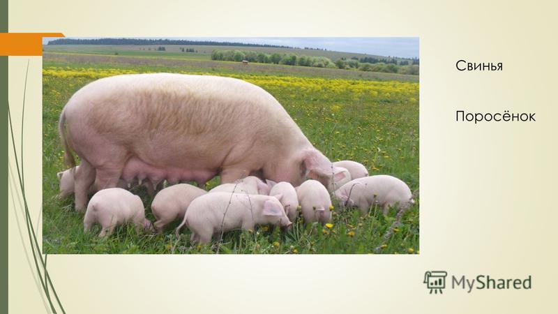 Свинья Поросёнок