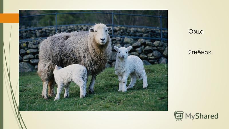 Овца Ягнёнок