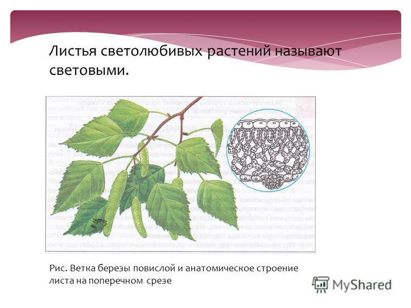 Листья светолюбивых растений называют световыми. Рис. Ветка березы повислой и анатомическое строение листа на поперечном срезе