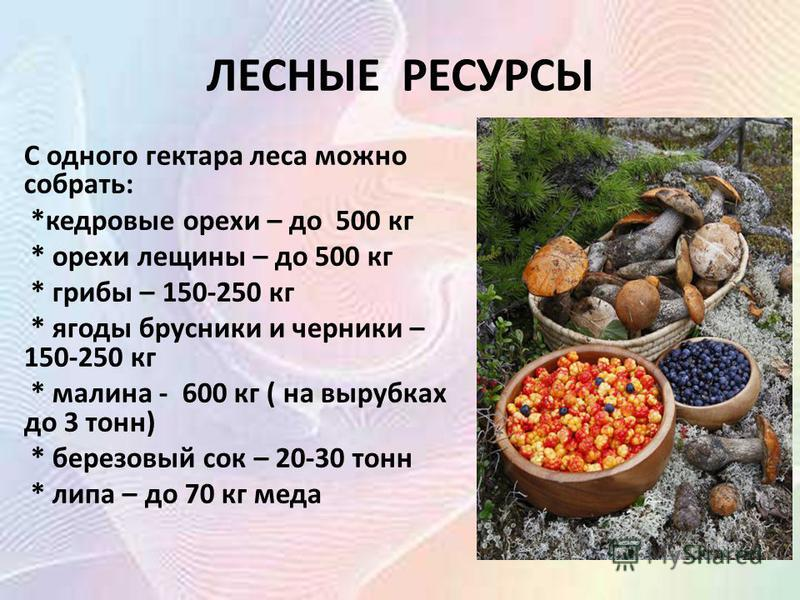ЛЕСНЫЕ РЕСУРСЫ С одного гектара леса можно собрать: *кедровые орехи – до 500 кг * орехи лещины – до 500 кг * грибы – 150-250 кг * ягоды брусники и черники – 150-250 кг * малина - 600 кг ( на вырубках до 3 тонн) * березовый сок – 20-30 тонн * липа – д