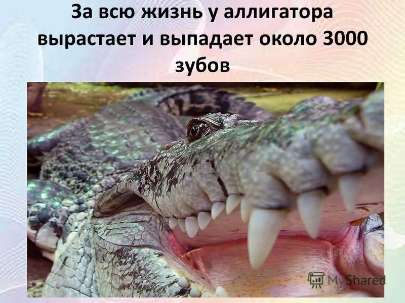 За всю жизнь у аллигатора вырастает и выпадает около 3000 зубов