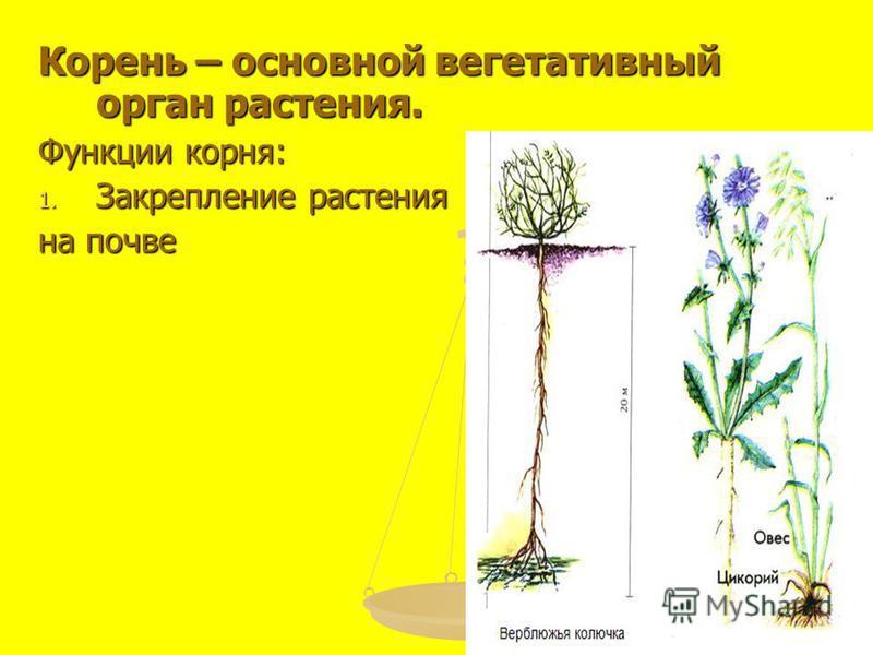 Корень – основной вегетативный орган растения. Функции корня: 1. Закрепление растения на почве