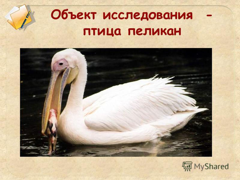 Объект исследования - птица пеликан
