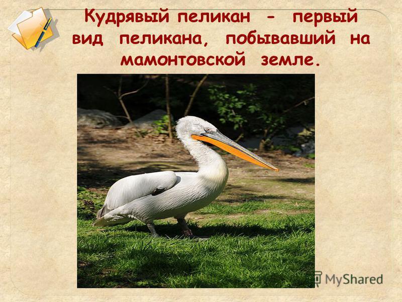 Кудрявый пеликан - первый вид пеликана, побывавший на мамонтовской земле.