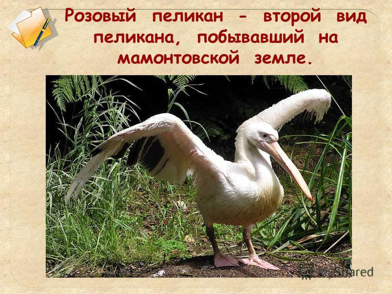 Розовый пеликан - второй вид пеликана, побывавший на мамонтовской земле.