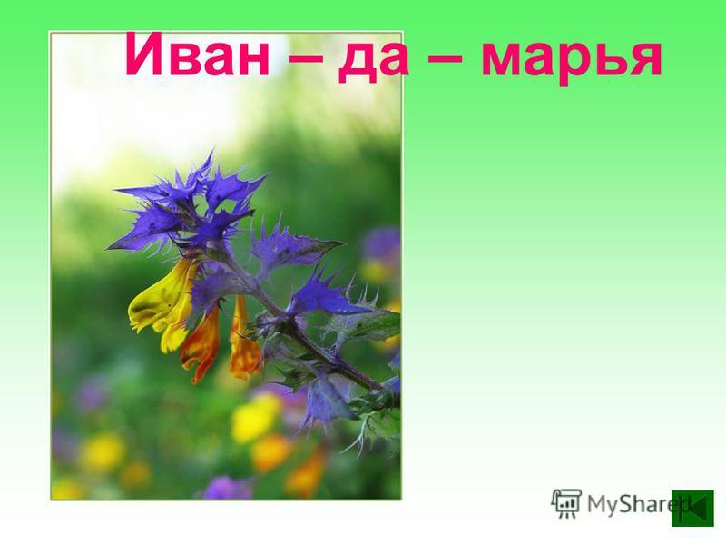 Иван – да – марья