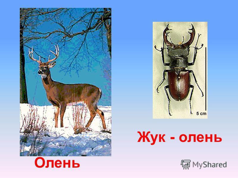 Олень Жук - олень