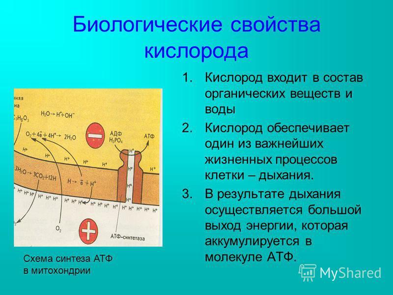 Биологические свойства кислорода 1. Кислород входит в состав органических веществ и воды 2. Кислород обеспечивает один из важнейших жизненных процессов клетки – дыхания. 3. В результате дыхания осуществляется большой выход энергии, которая аккумулиру
