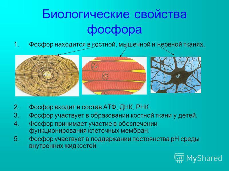 Биологические свойства фосфора 1. Фосфор находится в костной, мышечной и нервной тканях. 2. Фосфор входит в состав АТФ, ДНК, РНК. 3. Фосфор участвует в образовании костной ткани у детей. 4. Фосфор принимает участие в обеспечении функционирования клет