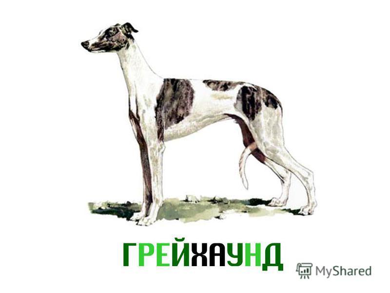 ГРЕЙХАУНД
