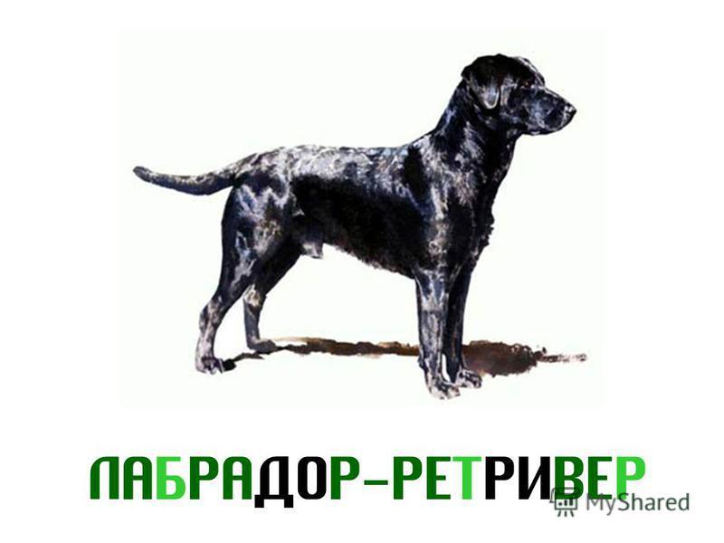 ЛАБРАДОР-РЕТРИВЕР