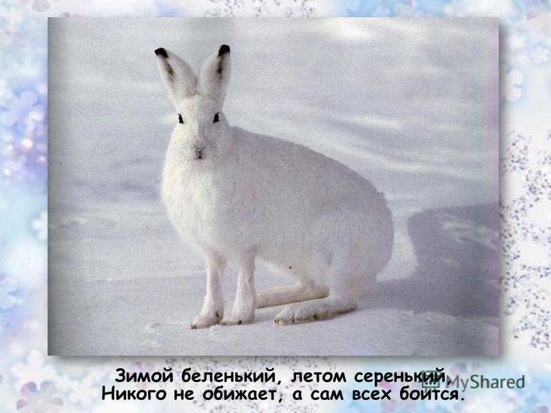Зимой беленький, летом серенький, Никого не обижает, а сам всех боится..