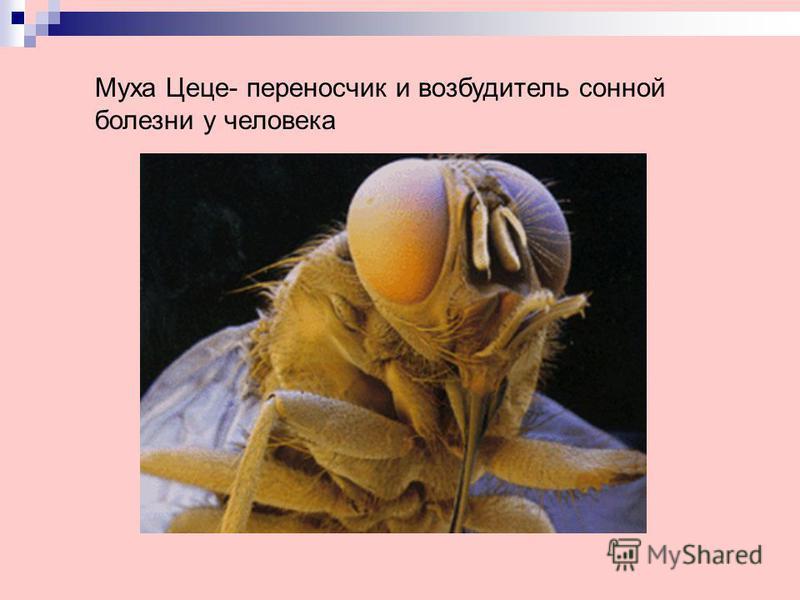 Муха Цеце- переносчик и возбудитель сонной болезни у человека
