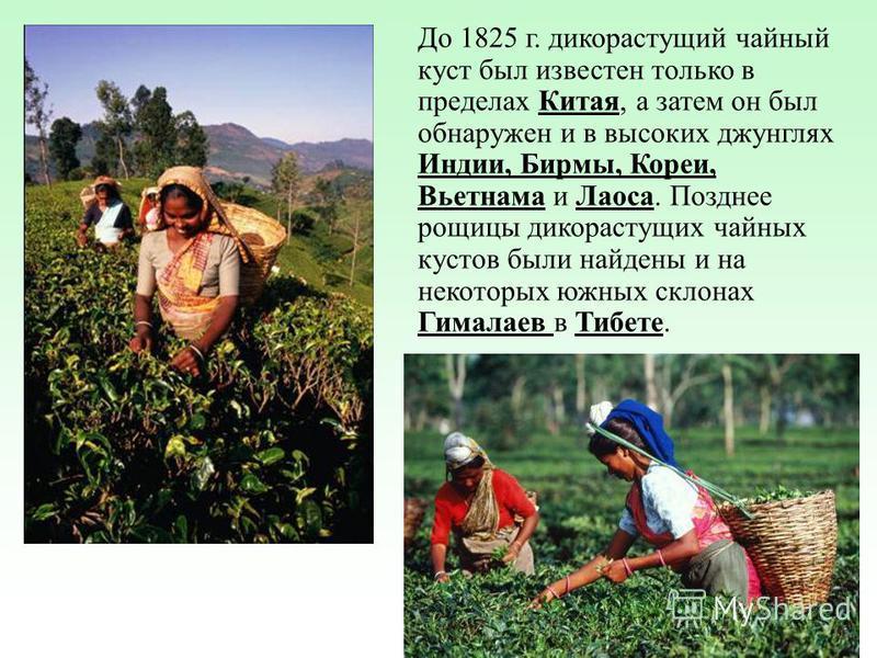 До 1825 г. дикорастущий чайный куст был известен только в пределах Китая, а затем он был обнаружен и в высоких джунглях Индии, Бирмы, Кореи, Вьетнама и Лаоса. Позднее рощицы дикорастущих чайных кустов были найдены и на некоторых южных склонах Гималае