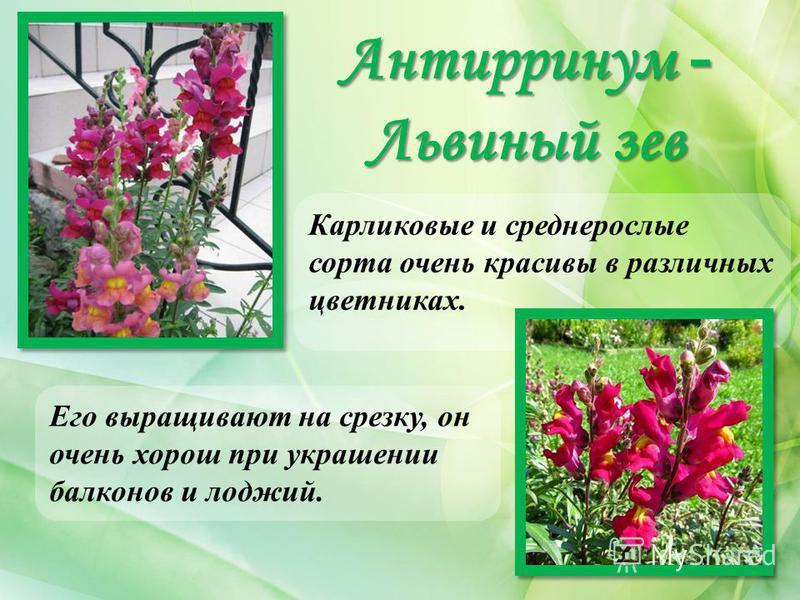 Антирринум - Львиный зев Карликовые и среднерослые сорта очень красивы в различных цветниках. Его выращивают на срезку, он очень хорош при украшении балконов и лоджий.