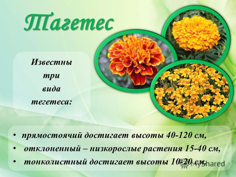 Тагетес Известны три вида тагетес: прямостоячий достигает высоты 40-120 см, отклоненный – низкорослые растения 15-40 см, тонколистный достигает высоты 10-20 см.