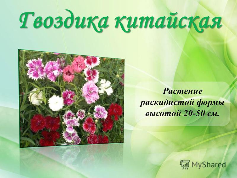 Гвоздика китайская Растение раскидистой формы высотой 20-50 см.