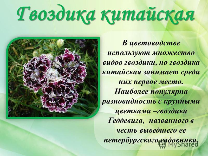 Гвоздикакитайская Гвоздика китайская В цветоводстве используют множество видов гвоздики, но гвоздика китайская занимает среди них первое место. Наиболее популярна разновидность с крупными цветками –гвоздика Геддевига, названного в честь выведшего ее