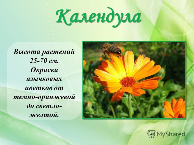 Календула Высота растений 25-70 см. Окраска язычковых цветков от темно-оранжевой до светло- желтой.
