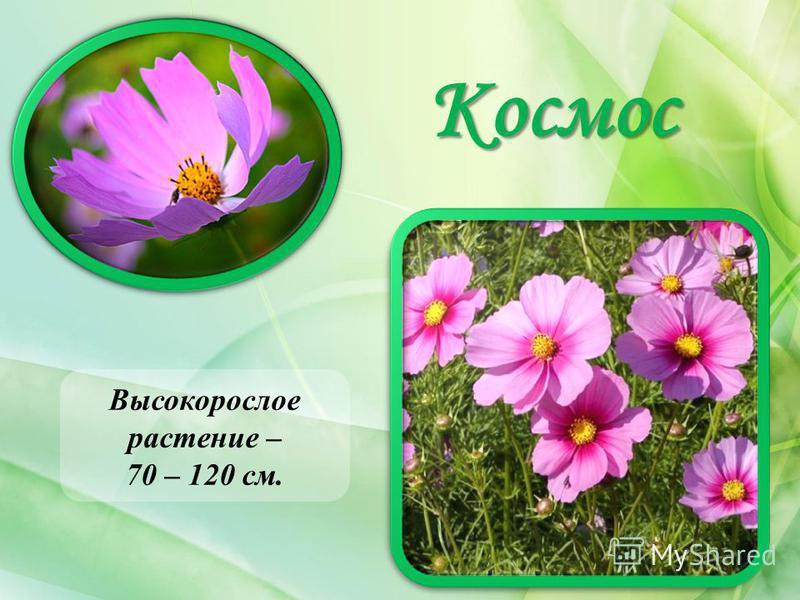 Космос Высокорослое растение – 70 – 120 см.