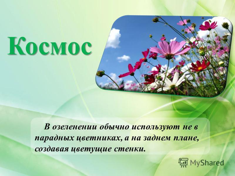 Космос В озеленении обычно используют не в парадных цветниках, а на заднем плане, создавая цветущие стенки.