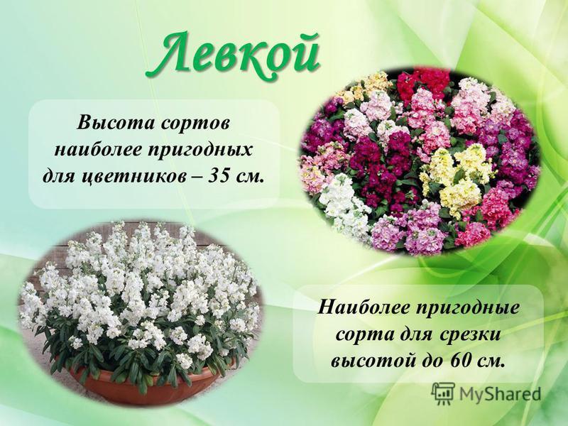 Левкой Высота сортов наиболее пригодных для цветников – 35 см. Наиболее пригодные сорта для срезки высотой до 60 см.