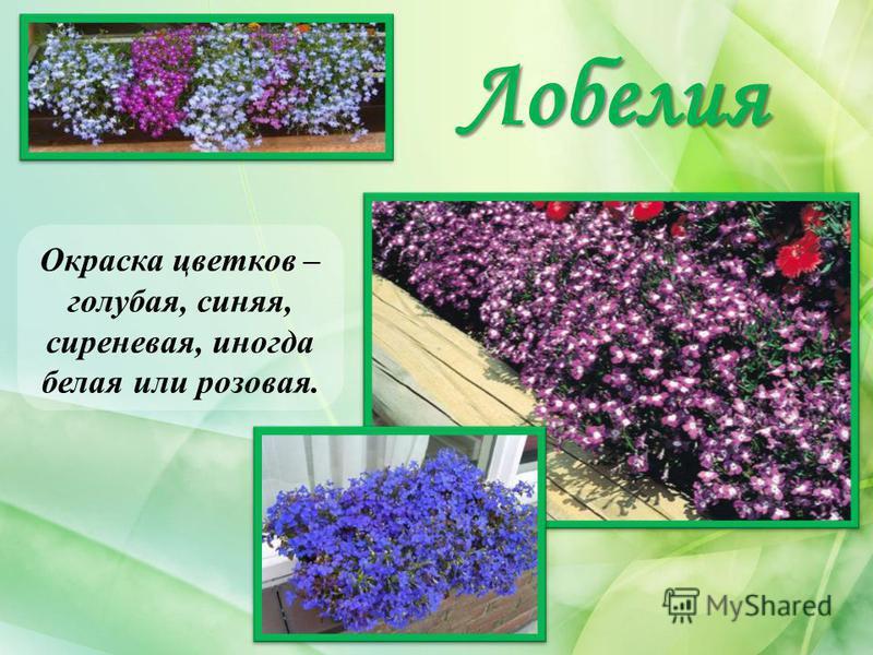 Лобелия Окраска цветков – голубая, синяя, сиреневая, иногда белая или розовая.