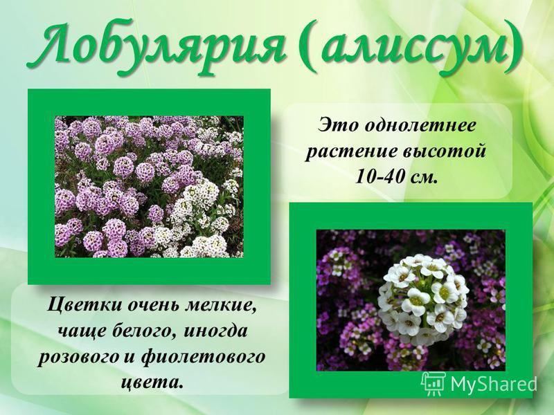 Лобулярия ( алиссум ) Цветки очень мелкие, чаще белого, иногда розового и фиолетового цвета. Это однолетнее растение высотой 10-40 см.
