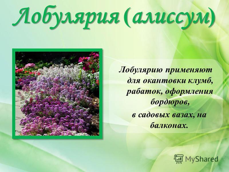 Лобулярия ( алиссум ) Лобулярию применяют для окантовки клумб, рабаток, оформления бордюров, в садовых вазах, на балконах.