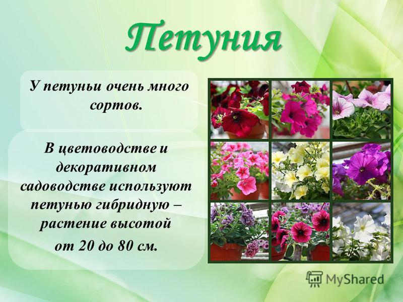 Петуния У петуньи очень много сортов. В цветоводстве и декоративном садоводстве используют петунью гибридную – растение высотой от 20 до 80 см.