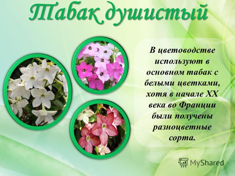 Табак душистый В цветоводстве используют в основном табак с белыми цветками, хотя в начале ХХ века во Франции были получены разноцветные сорта.