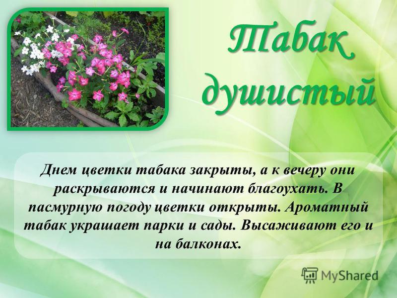 Табак душистый Днем цветки табака закрыты, а к вечеру они раскрываются и начинают благоухать. В пасмурную погоду цветки открыты. Ароматный табак украшает парки и сады. Высаживают его и на балконах.