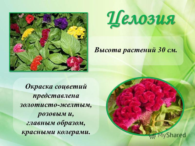 Целозия Высота растений 30 см. Окраска соцветий представлена золотисто-желтым, розовым и, главным образом, красными колерами.