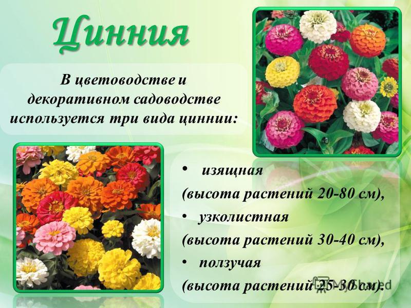 Цинния В цветоводстве и декоративном садоводстве используется три вида циннии: изящная (высота растений 20-80 см), узколистная (высота растений 30-40 см), ползучая (высота растений 25-30 см).