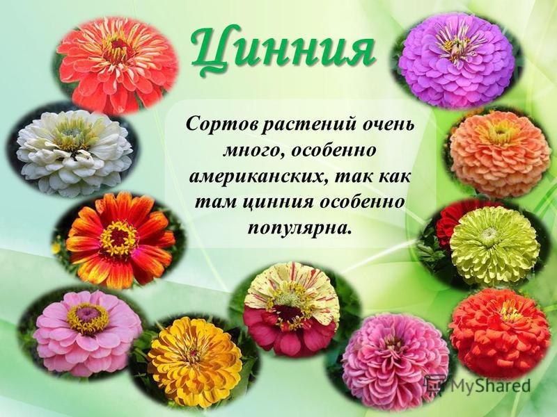 Цинния Сортов растений очень много, особенно американских, так как там цинния особенно популярна.
