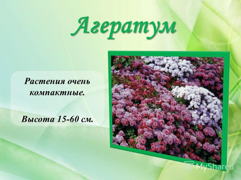 Агератум Растения очень компактные. Высота 15-60 см.