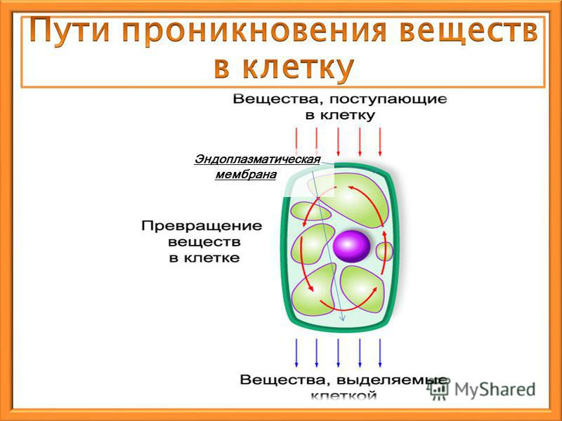 Эндоплазматическая мембрана