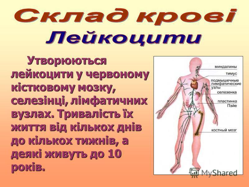 Утворюються лейкоцити у червоному кістковому мозку, селезінці, лімфатичних вузлах. Тривалість їх життя від кількох днів до кількох тижнів, а деякі живуть до 10 років. Утворюються лейкоцити у червоному кістковому мозку, селезінці, лімфатичних вузлах.