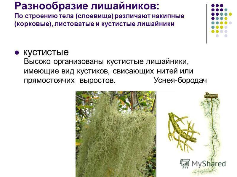 Разнообразие лишайников: По строению тела (слоевища) различают накипные (корковые), листоватые и кустистые лишайники кустистые Высоко организованы кустистые лишайники, имеющие вид кустиков, свисающих нитей или прямостоячих выростов. Уснея-бородач