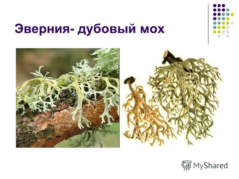 Эверния- дубовый мох