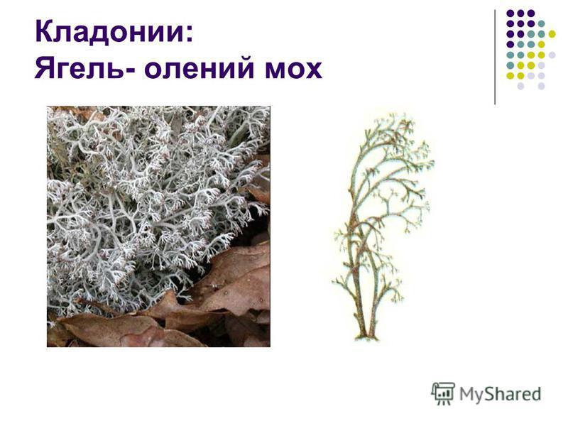 Кладонии: Ягель- олений мох
